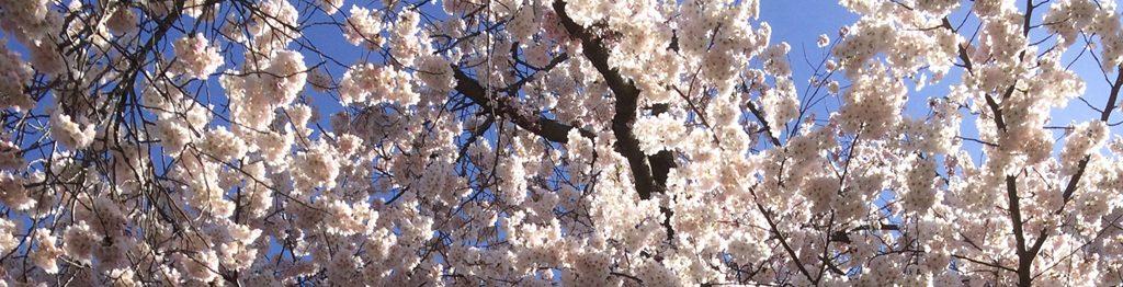 cherry blossom_slide